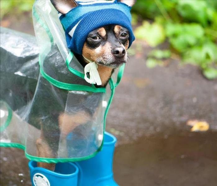 A small dog with a raincoat and rainboots on,
